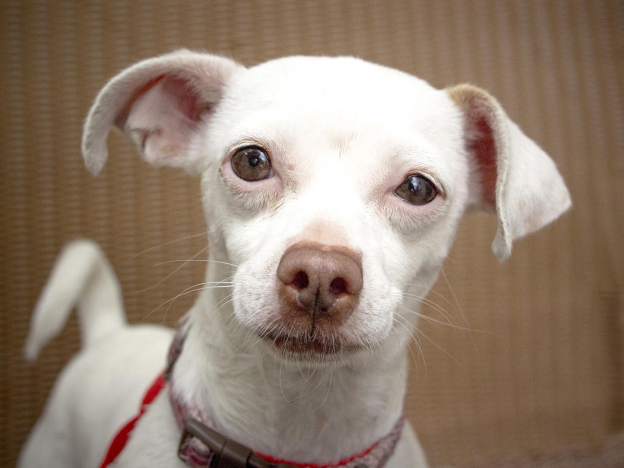 Princess is a 4-year-old white Chihuahua up for adoption by the Pasadena Humane Society & SPCA.