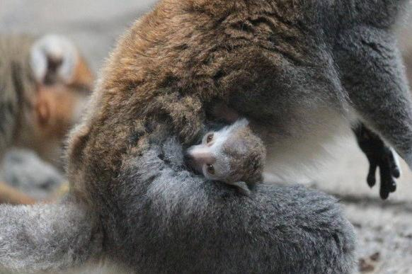 The Lincoln Park Zoo announced the birth of a baby lemur at the Helen Brach Primate House, a first for Lincoln Park Zoo.