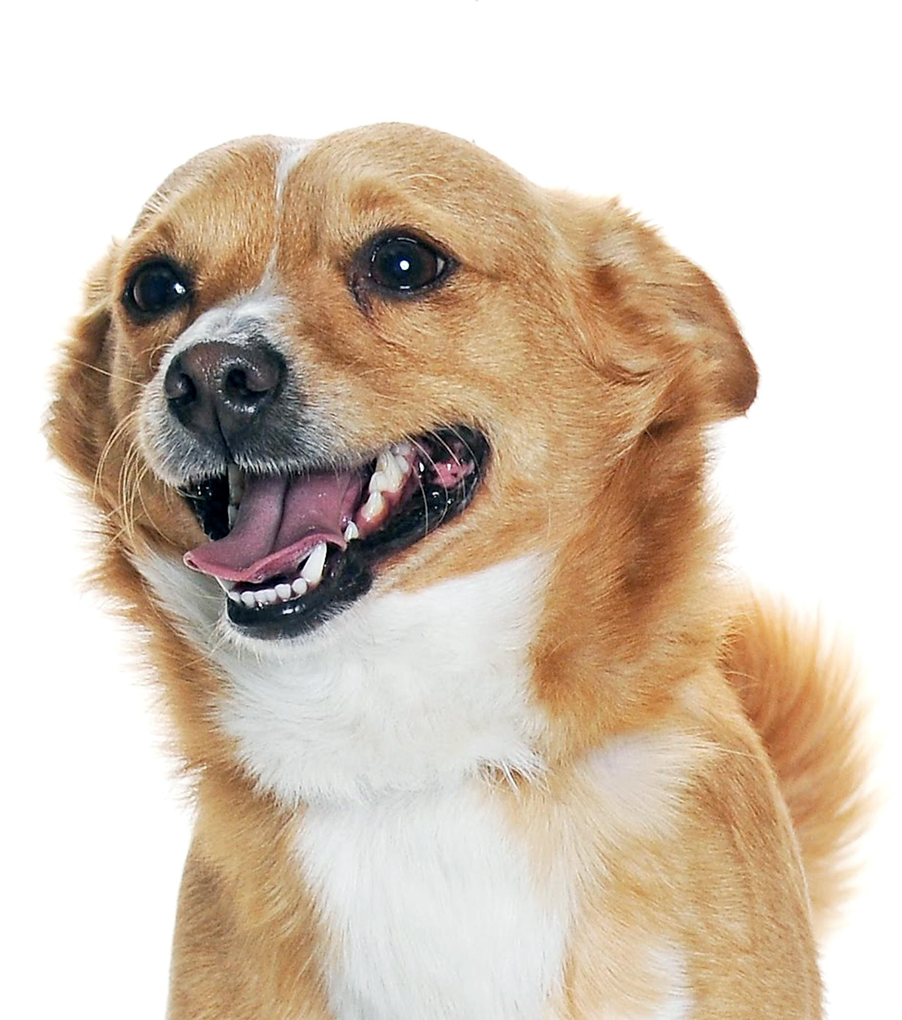 King is a 2.5-year-old gold and white Chihuahua/Welsh Corgi mix up for adoption at the Burbank Animal Shelter.