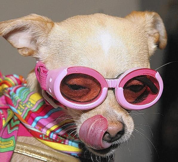 Cool shades let pampered pets sneak past the pup-arazzi.