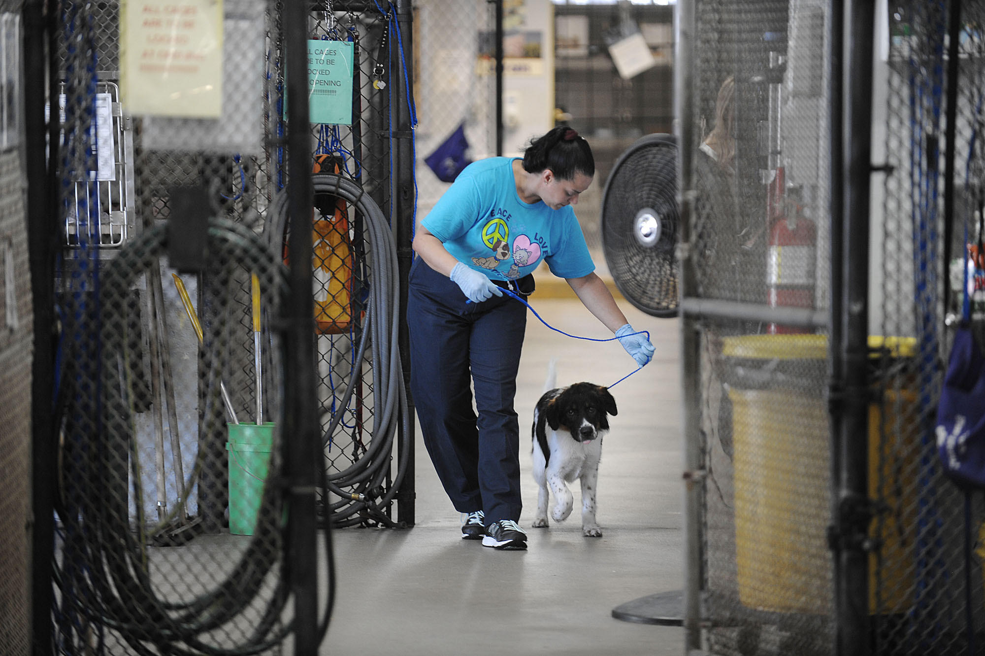 Broward County Animal Care employee Yolanda Mariani walks a resident Border Collie mix, Wednesday, May 7, 2014.