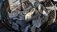 Survey finds oysters regaining 'foothold' in Bay