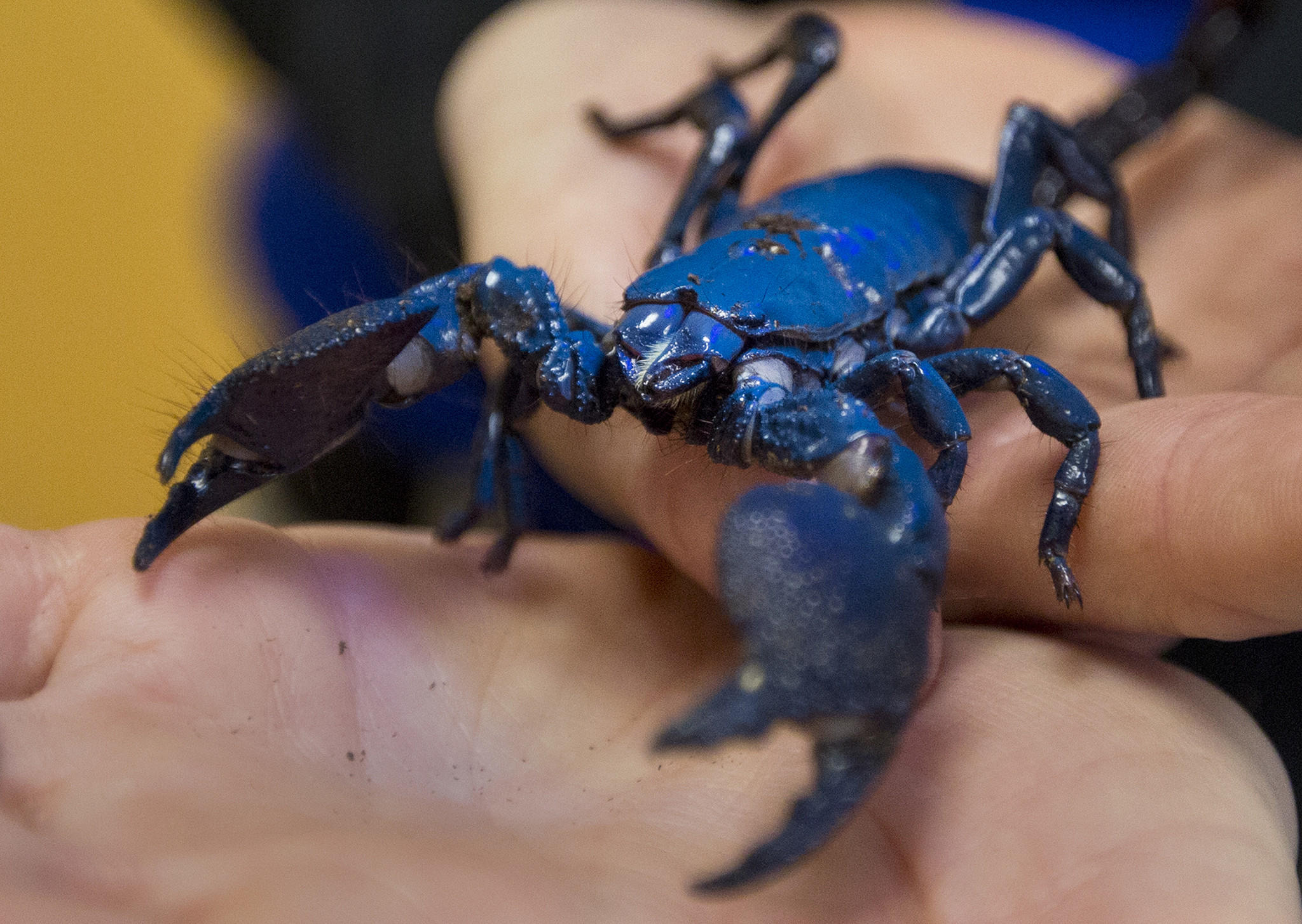 Allyson Zahm, education manager at the Virginia Zoo, holds an Emperor Scorpion prior to a ribbon-cutting ceremony for the zoo's new animal wellness center on April 29.