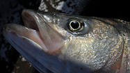 Commission to consider gradual rockfish catch limits