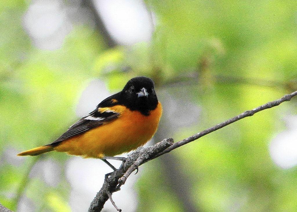 Baltimore Oriole by Trevor Sleight of the College of William & Mary ornithology class taught by Dr. Dan Cristol.