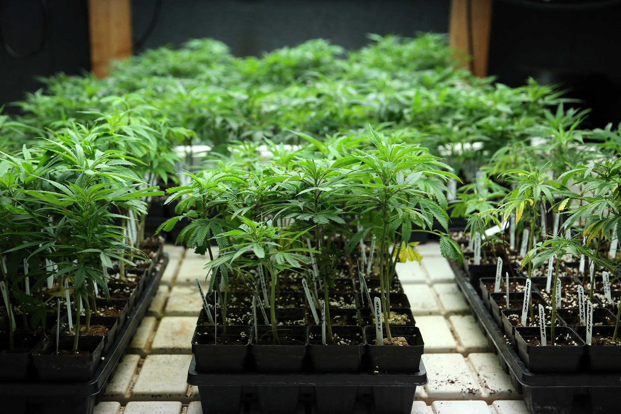 Juvenile medical marijuana plants grow under artificial light Thursday, May 16, 2013 at the Gaia Plant-Based Medicine grow operation in Denver.