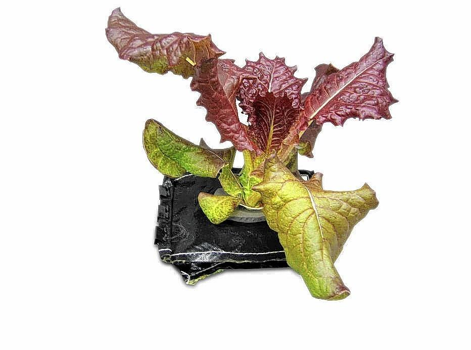 A 28-day-old Outredgeous red romaine lettuce plant grows in a prototype v flight pillow. U.S. astronauts living and working aboard the International Space Station are going to receive a newly developed Vegetable Production System