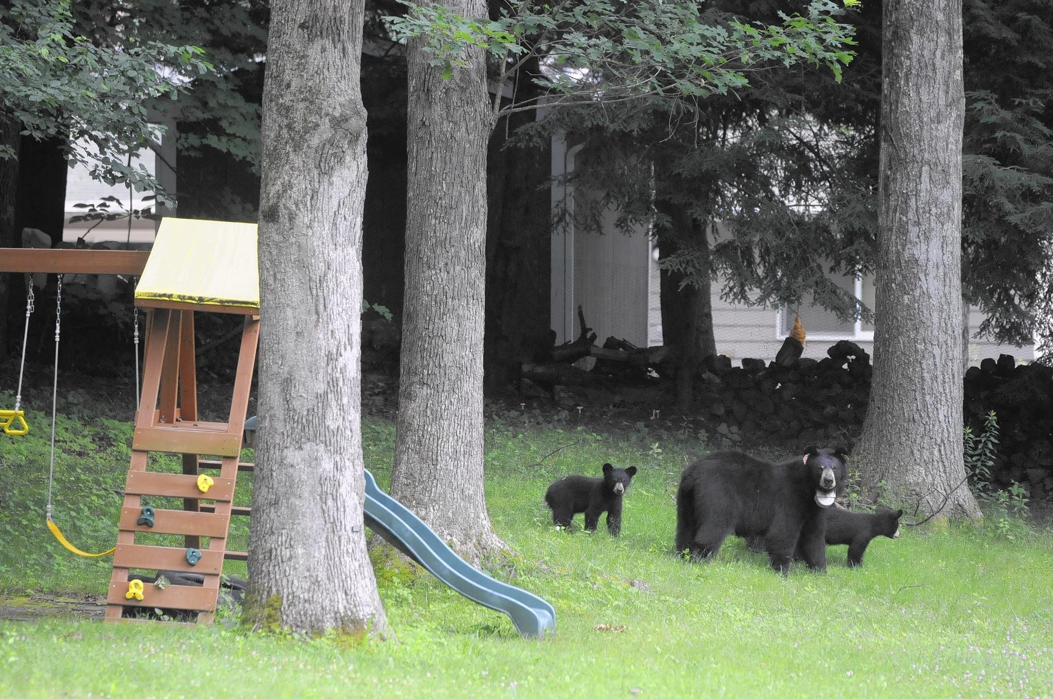 A mother bear and her three cubs wondered the yards of homes along Arch Road in Avon on July 6, 2013, looking through garbage for a quick meal. The bears head back to the back of the yard after rummaging through a garbage can left on the curb for pick up.
