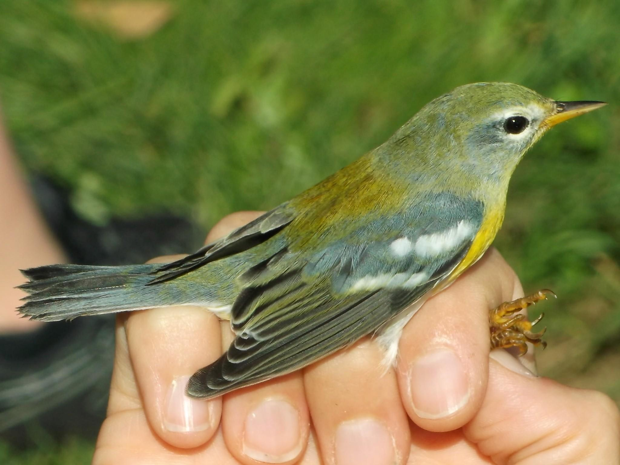 Connecticut Audubon Center at Glastonbury to host bird banding event.