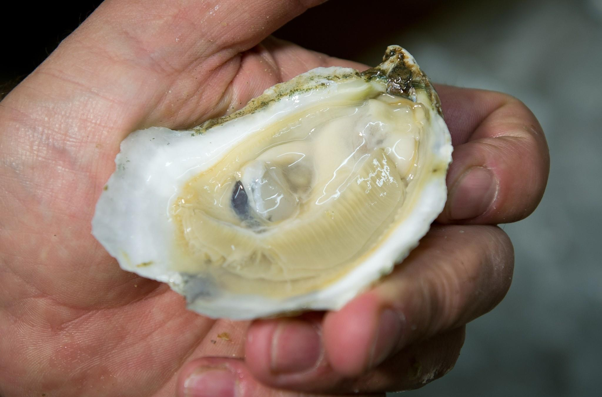 An employee of the Hollywood Oyster Company shows a fresh oyster.