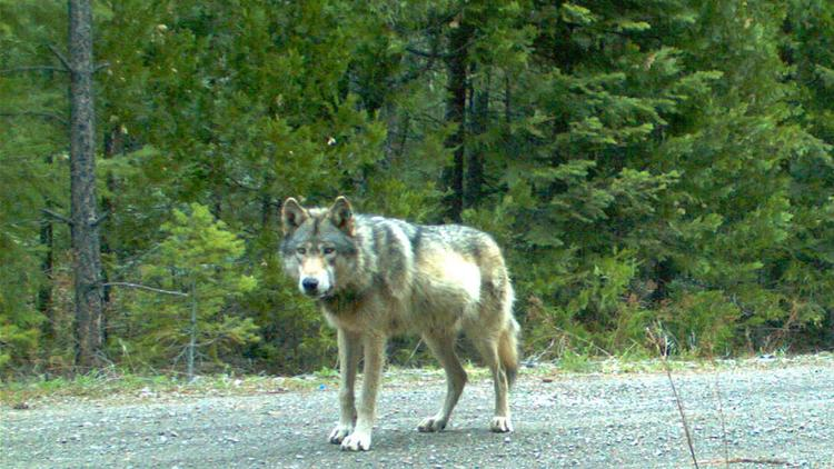 Endangered gray wolves