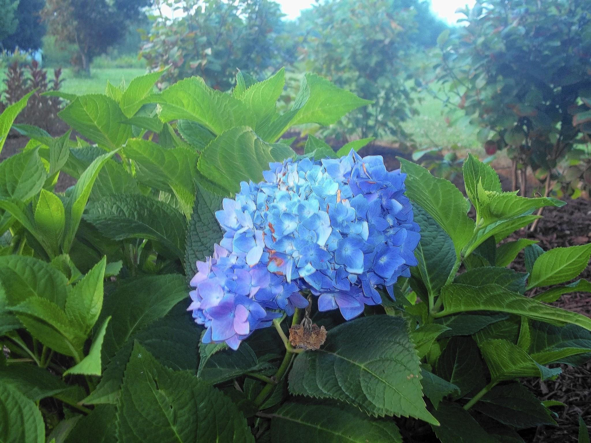 This variety of hydrangea will bloom even on stems that died to the ground over the winter.