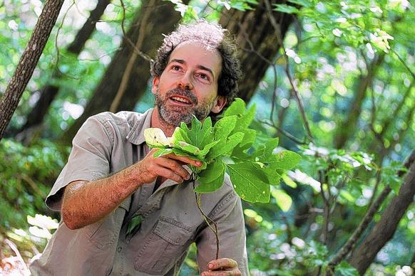 Alan Muskat with sassafras leaves, the source of file, used in cooking.