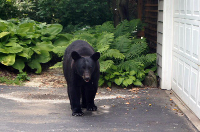 A black bear walks outside Sheryl Hutchinson's home Saturday morning in Rockford.