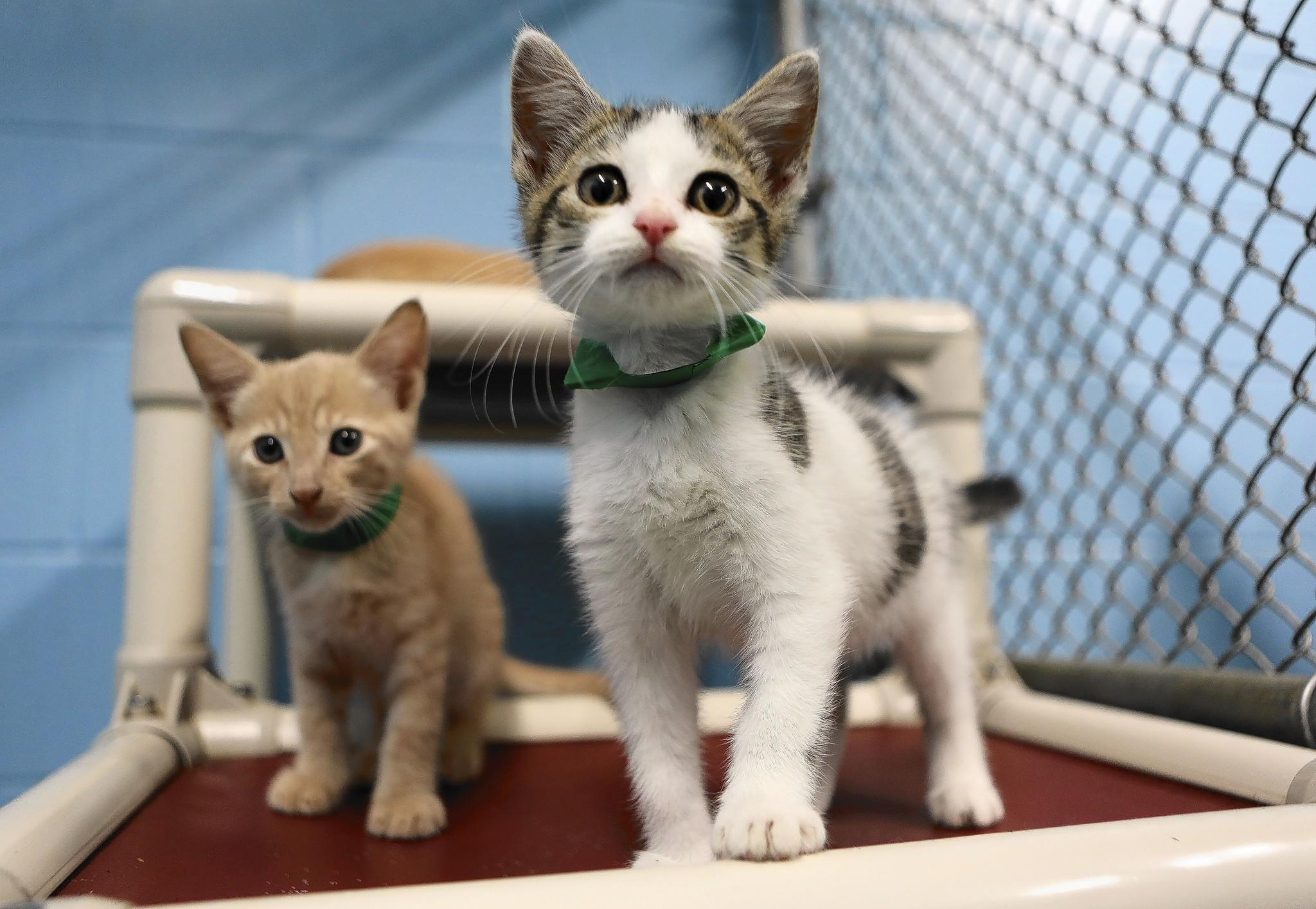 Kittens wait for foster homes at Lake County Animal Services in Tavares.