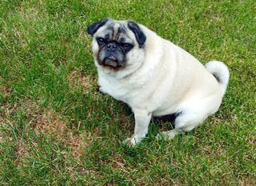 Prince Charming, a pug rescued by Chicago police, is returning to owners who now live near Washington, D.C.