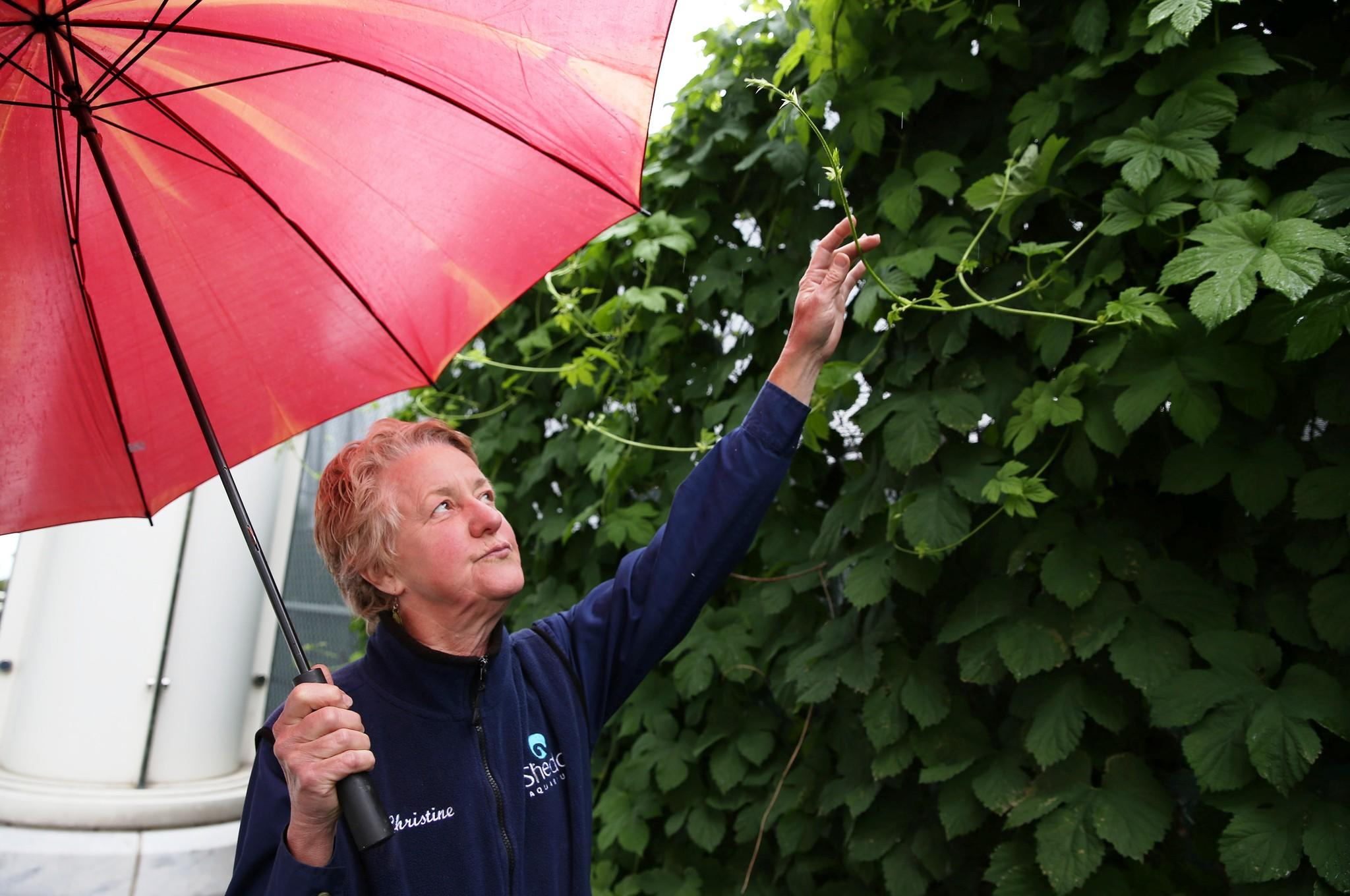 Christine Nye, horticulture programs manager at the Shedd Aquarium, stands by the hops vines that she planted behind the Shedd Aquarium. She said she did it to cover an ugly fence behind the marine area, but at the end of the season they harvest the seed cones for beer.