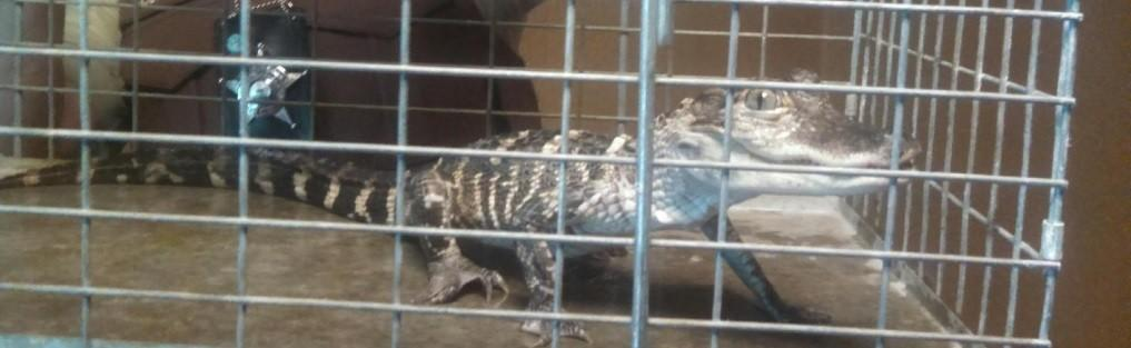 This small alligator was found in an aquarium when Sheriff's deputies evicted someone Wednesday morning on the South Side.