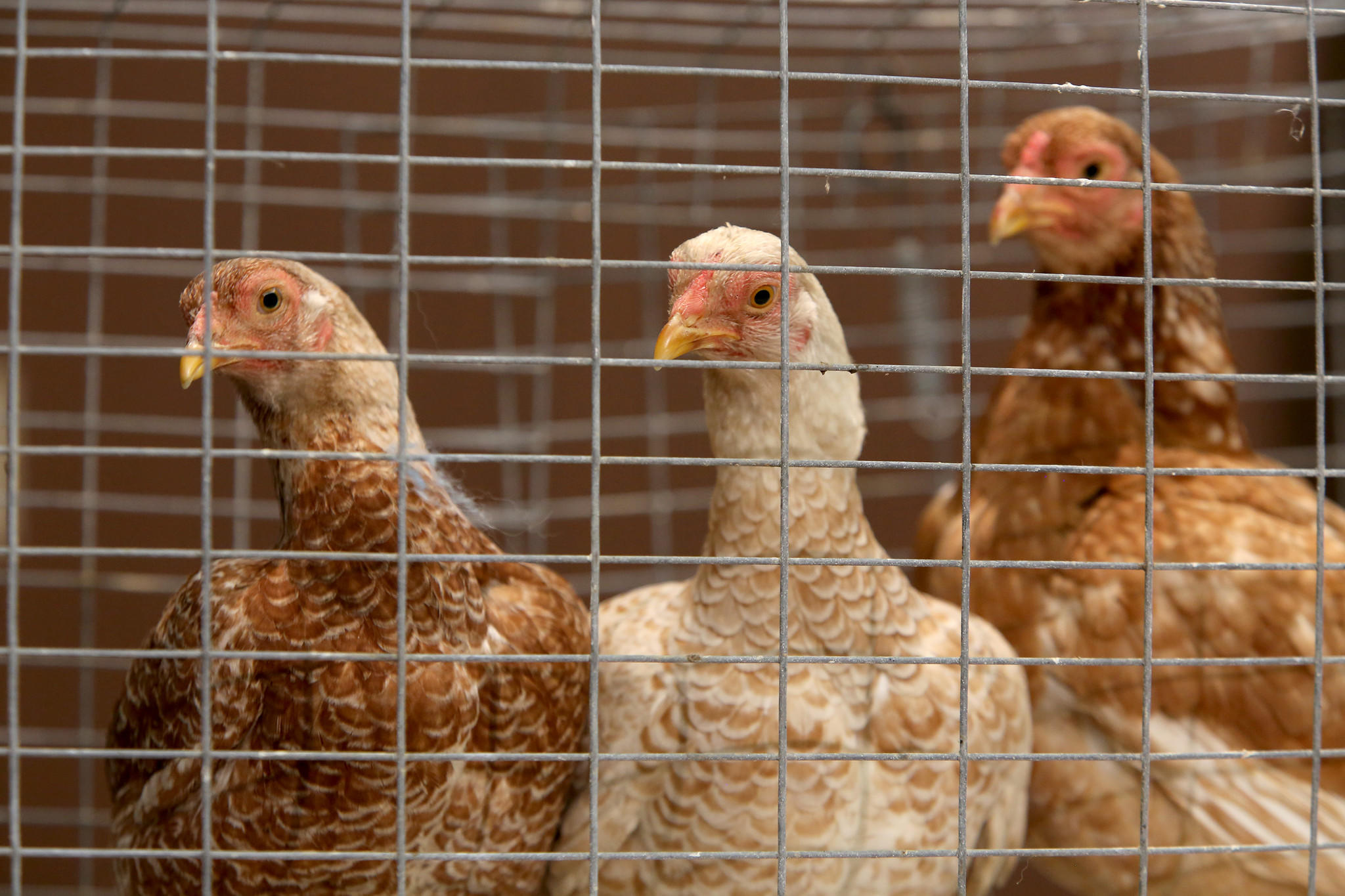 Chickens are displayed during a press conference held by Republican gubernatorial candidate Bruce Rauner to represent state spending under Illinois Gov. Quinn introduce rare prairie chickens to the state.