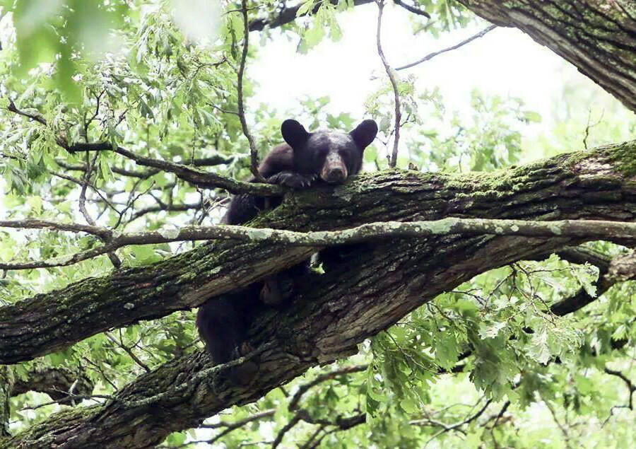 A black bear looks down from a tree south of Mount Morris, Ill.