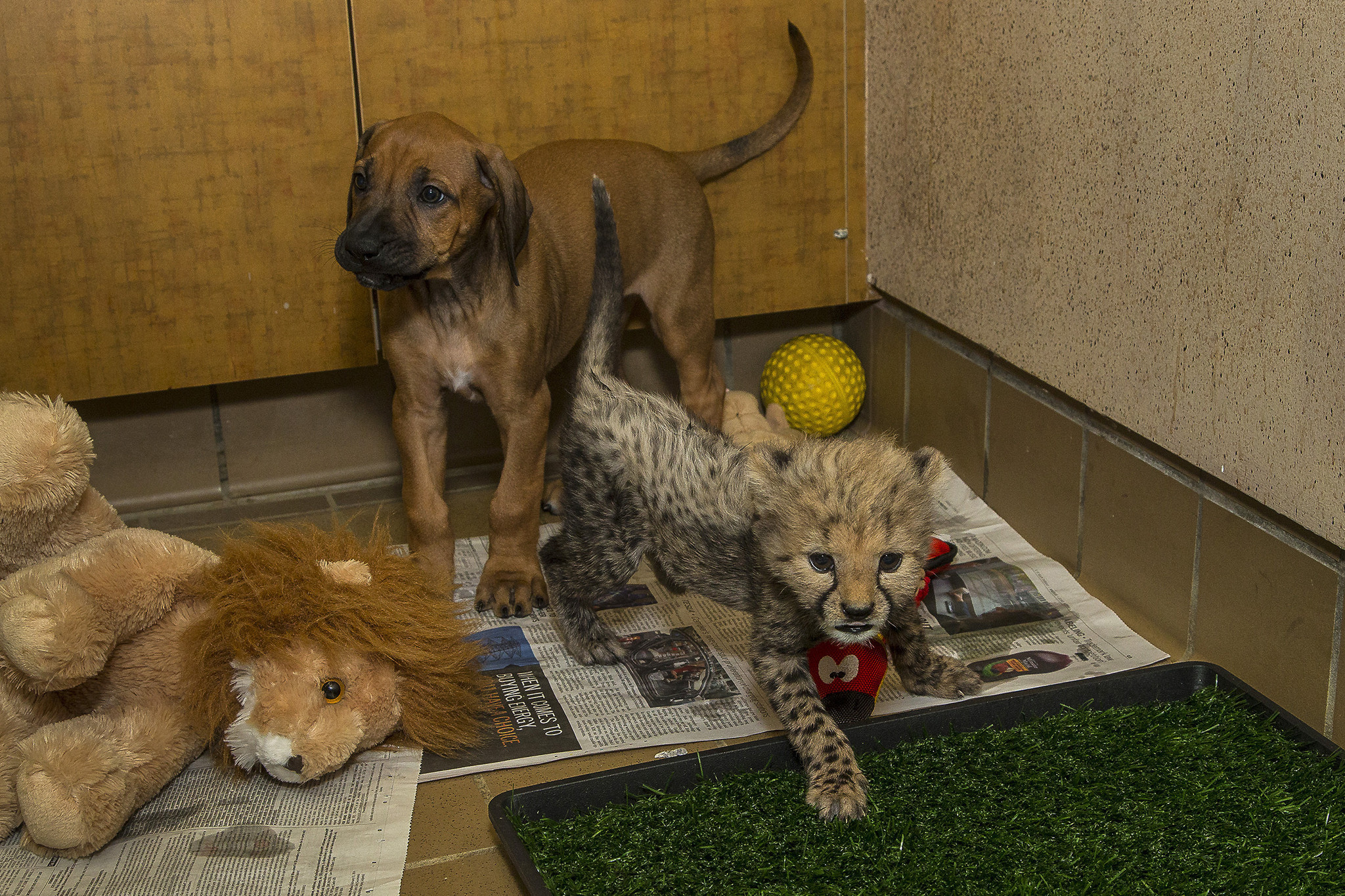 Cheetah Dog Best Cheetah Image And Photo HD - Cheetahs can be so shy that zoos give them emotional support dogs