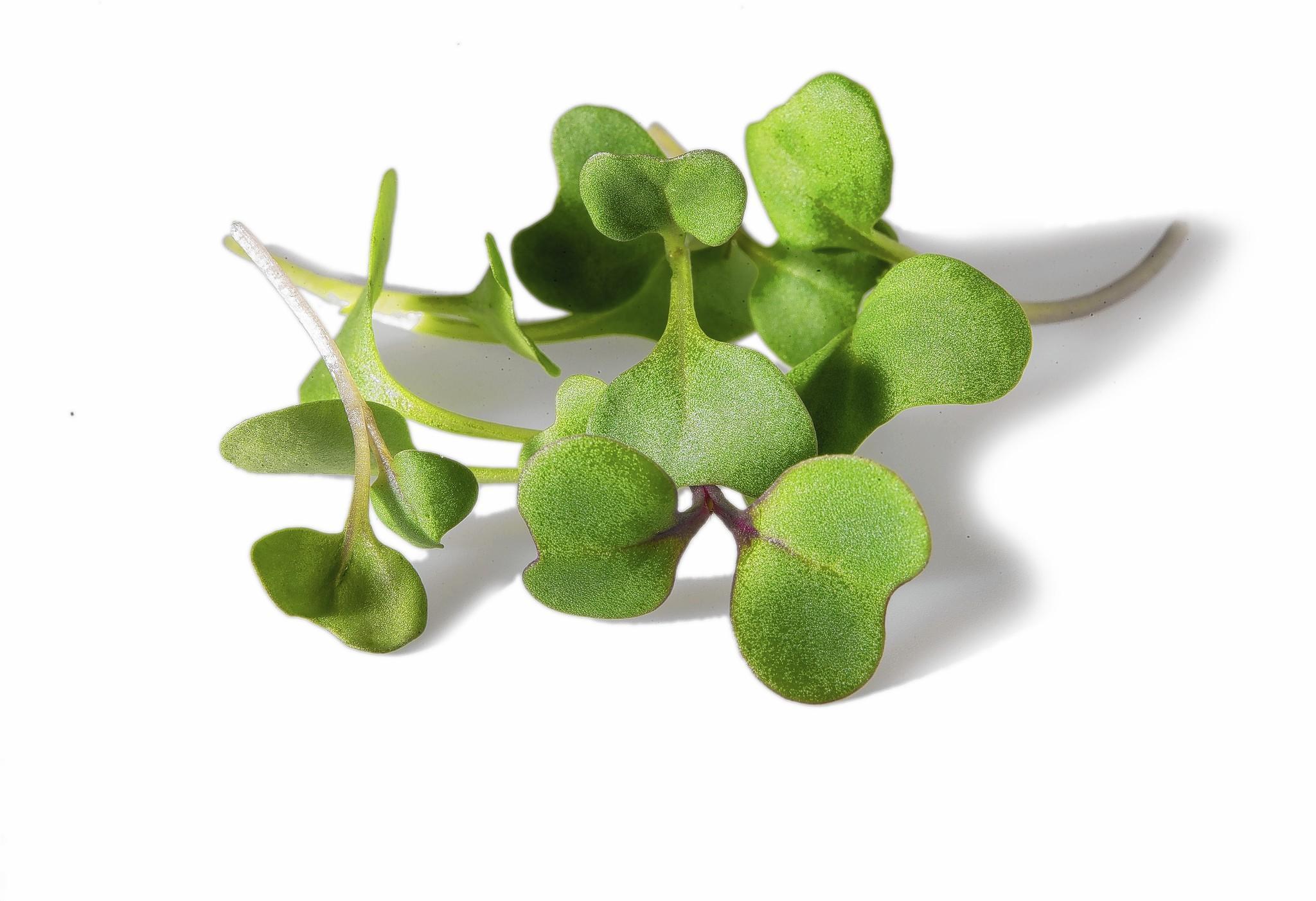 A photograph of broccoli microgreens.