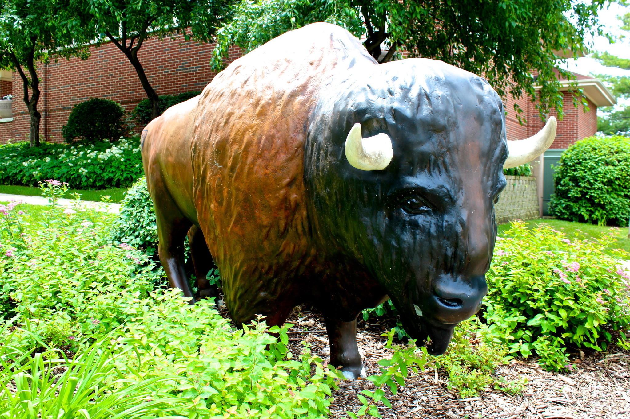 Adult buffalo entertainment grove share