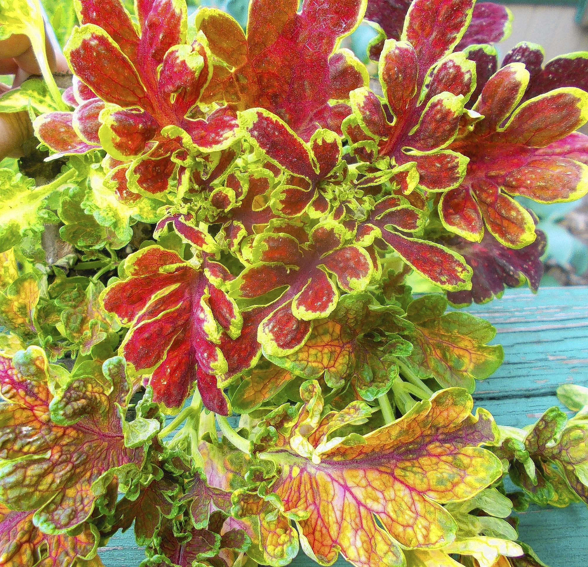Though long grown as colorful foliage in shade, new varieties of coleus pass the direct-sun test with flying colors, literally.