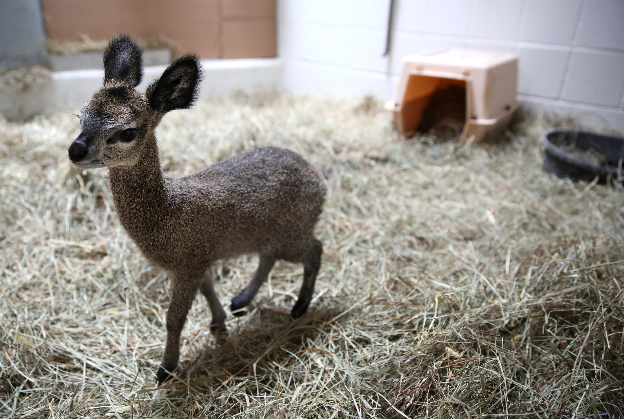 Asha, a klipspringer baby born in March, explores her enclosure at the Lincoln Park Zoo in May. She died Wednesday.