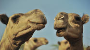 Santa Monica firm sells camel's milk as healthful, but pricey, drink