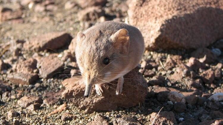 Mouse-like mammal related to elephants discovered in Africa