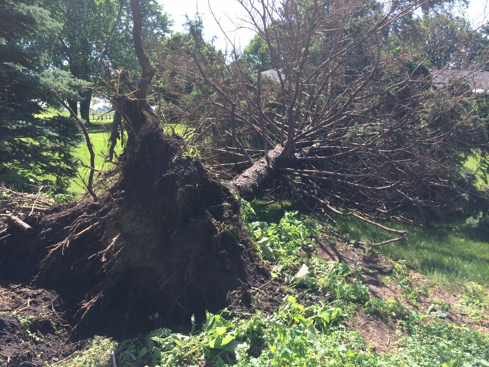 A fallen pine tree in the 11700 block of Plainfield-Naperville Road in Plainfield.