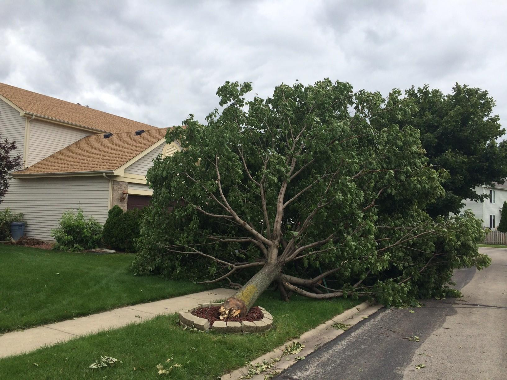 A fallen maple tree remained on the front lawn of the home in the Lakewood Hills subdivision in Plainfield on Wednesday, where the National Weather Service said a tornado touched down Monday night.