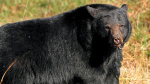 New Kent Sheriff's Office receives calls about black bear sightings in Lanexa