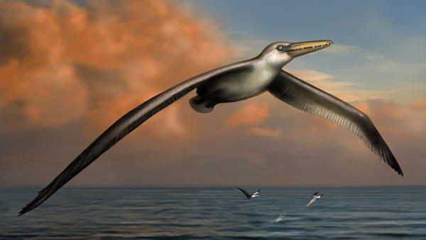Pelagornis sandersi, largest flying bird