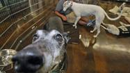 Photo Gallery: Grey Save showcases greyhounds at Centinela in Burbank