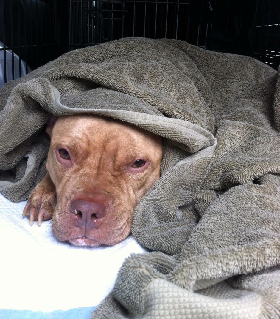 Sheba, a surrendered pit-bull-mix being treated for parvo, at Felines & Canines no-kill shelter in Chicago.