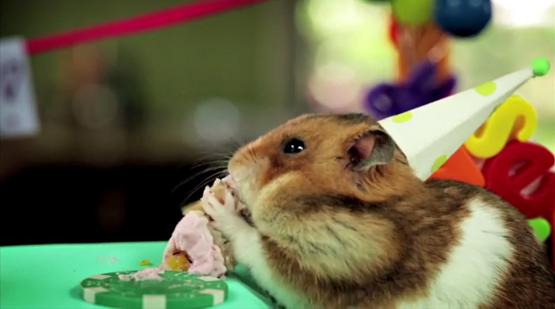 Video Tiny Hamster Is Back Eating Tiny Birthday Cake