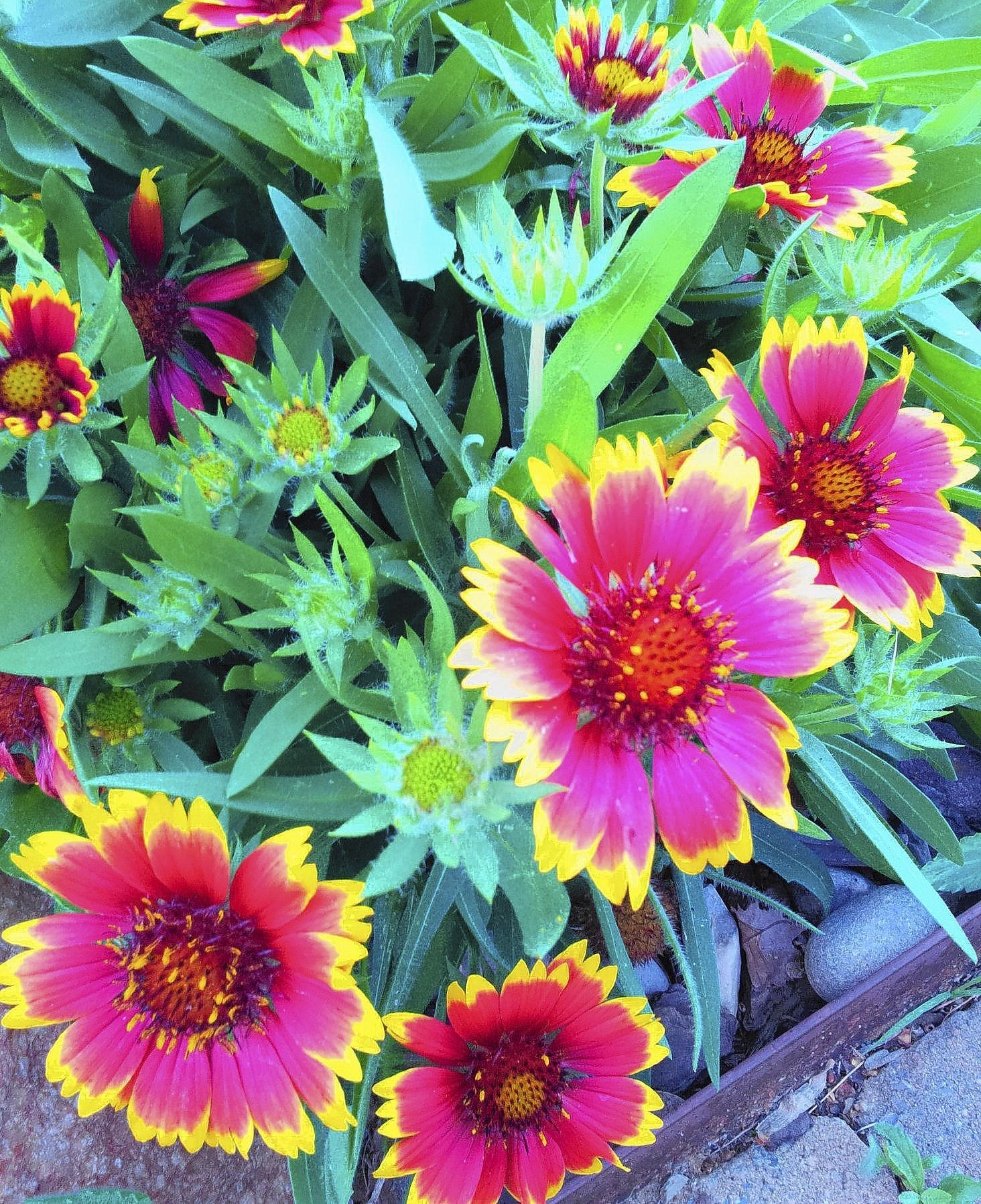 Blanket flowers are easy to care for and handle drought and heat with ease.