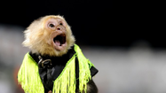 Behind the scenes of a cowboy monkey rodeo