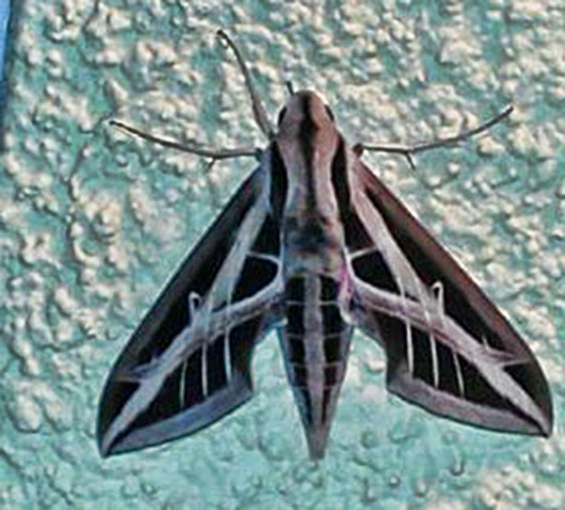 The Banded Sphinx is one of the beautiful Florida moths featured during 2014 National Moth Week, being hosted by Long Key Nature Center. (Courtesy photo/A.Fhuf)