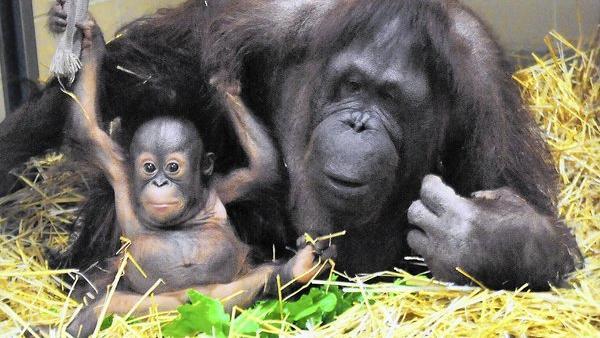 Kecil the orangutan