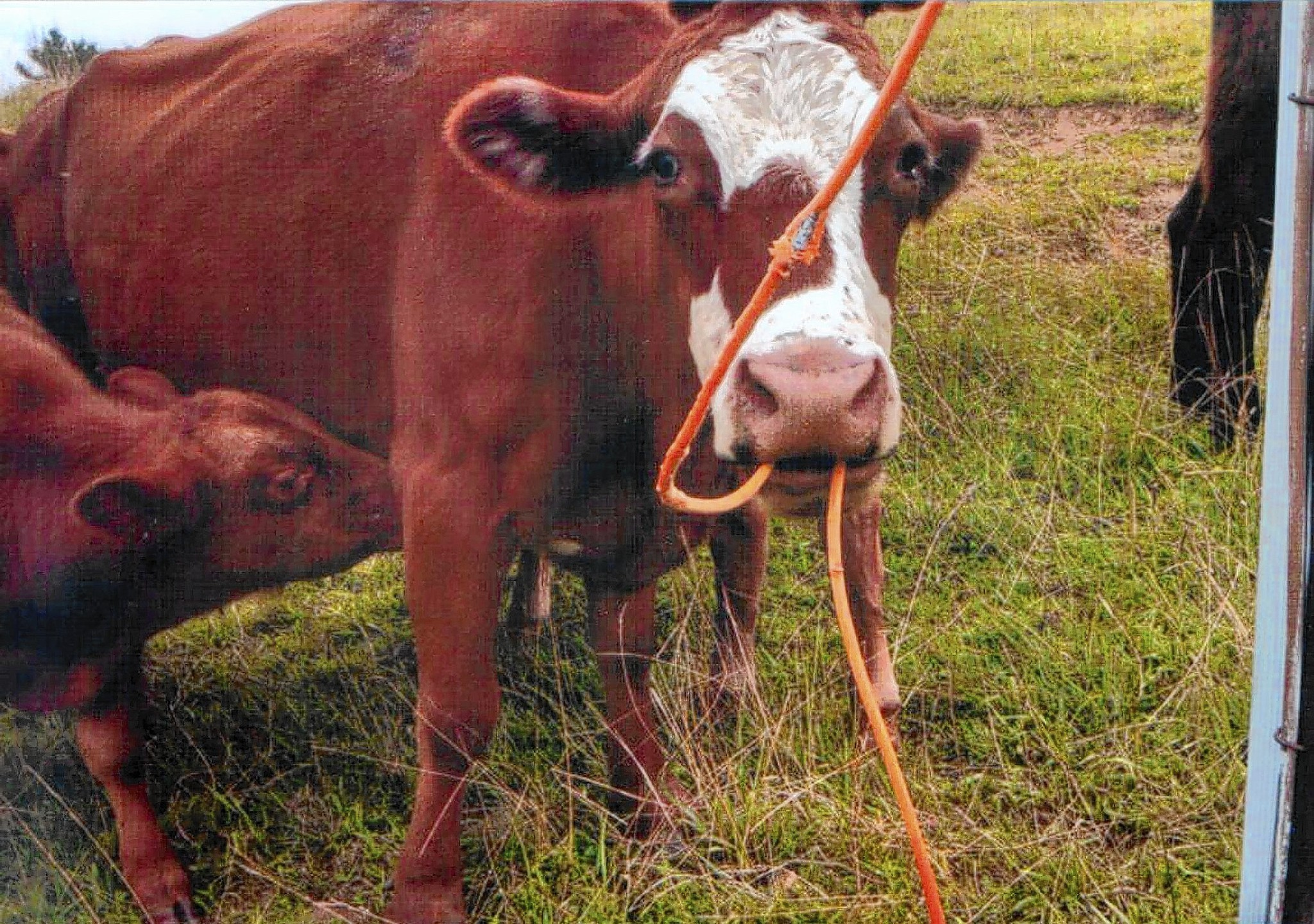 Udder disconnect: Carroll cows chews cable, not cud - Carroll County ...