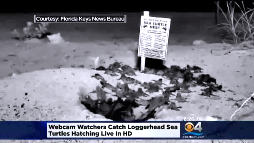 Watch sea turtles hatch [Video]