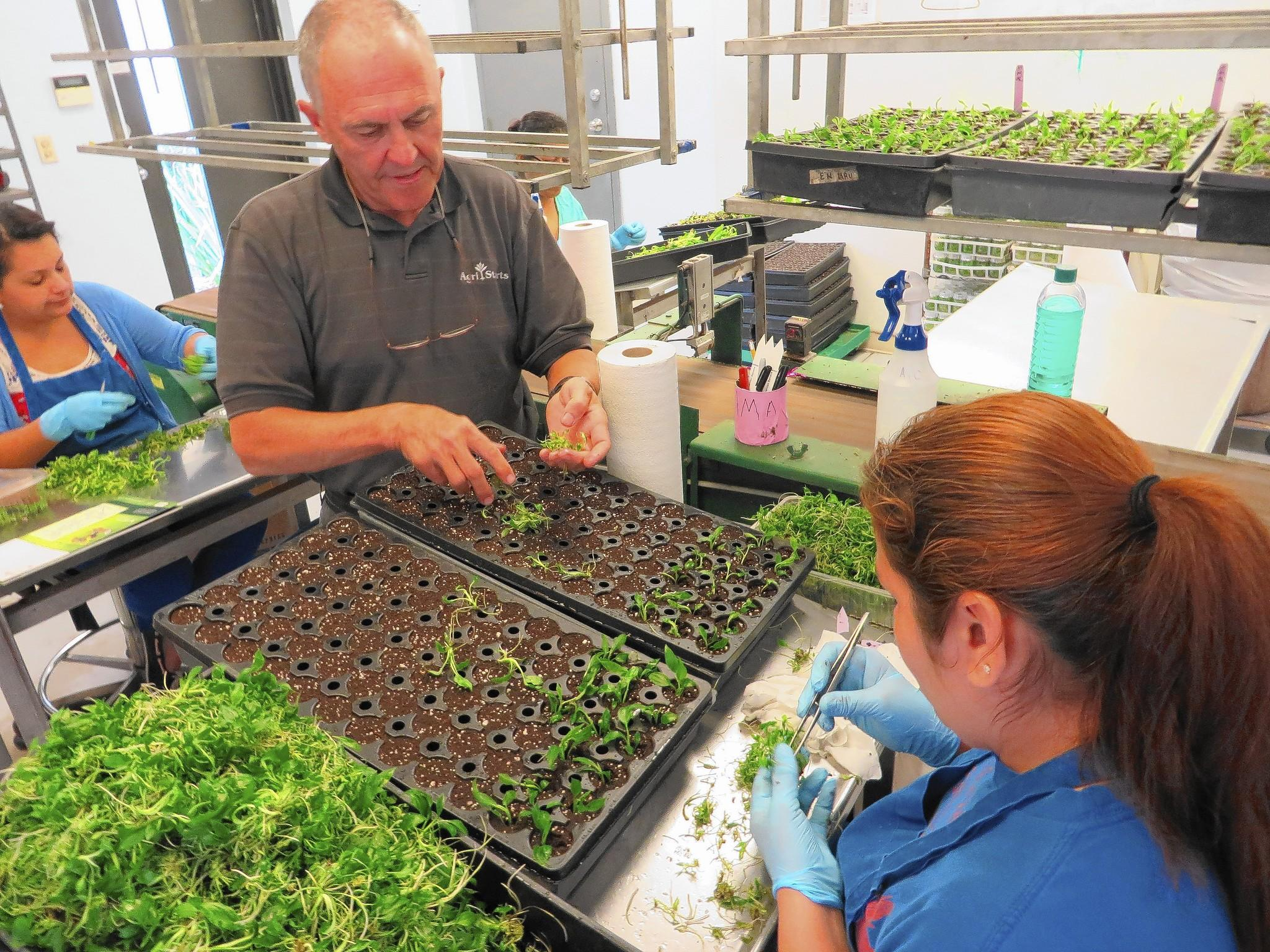 Randy Strode, owner of Agri-Starts Inc. near Apopka, inspects cloned plants being replanted by worker Alma Casillas.