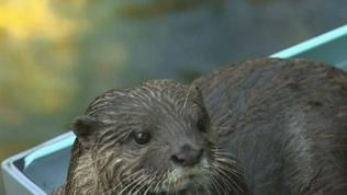 Raw: Otters Enjoy Water Slides at Japan Zoo
