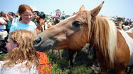 Assateague's mane event follows a tradition spanning generations
