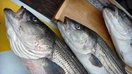 Two watermen plead guilty in striped bass poaching case