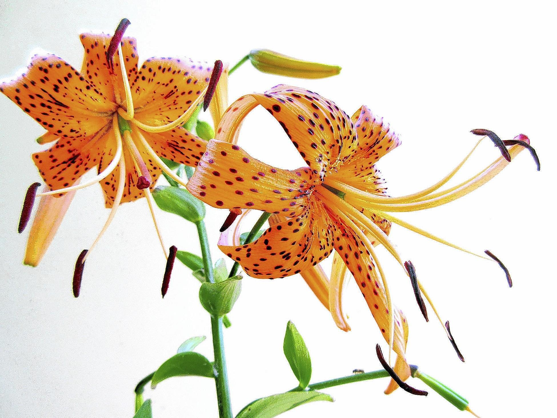 Garden column tiger lillies also arent native and are less tiger lilies lilium lancifolium are hybrid asian lilies that escaped into the wild in izmirmasajfo