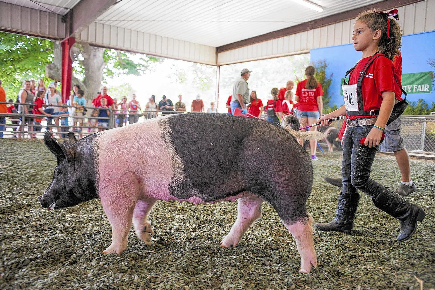 Ashley Rand, 8, leads a pig around the pen during the junior showmanship show at the Howard County Fairgrounds on Saturday, August 2nd.